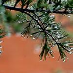 Agujas de pino tras la lluvia