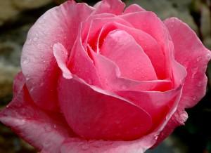 Rosa con gotas de agua de lluvia