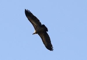 Aguila sobrevolando un espacio natural