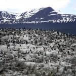 Colonia de Cormoranes en el Canal de Beagle (Ushuaia-Argentina)