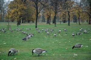Patos en parque londinense