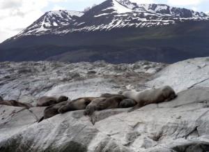 Lobos marinos en la Isla de Lobos (Argentina)