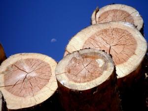Troncos de pinos en Valsain (Segovia)