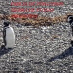Pinguinos en libertad