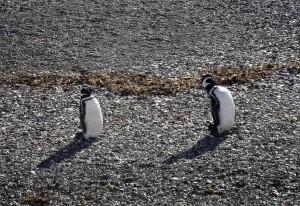 Pareja de pinguinos en la Isla Despard (Argentina)
