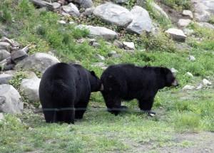 Parque Omega (Canada) Pareja de osos en libertad
